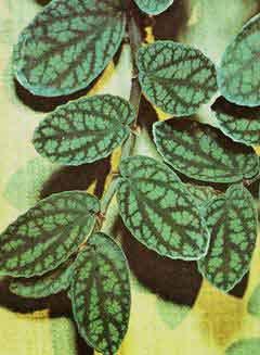 Пеллиония  уход в домашних условиях Выращивание